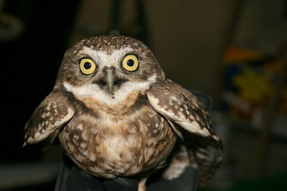 A Western Screech Owl was found in the fall in a Toys R Us parking lot by Tammey and Ben Scarborough. They took it to wildlife rehaber Bill Heyde.