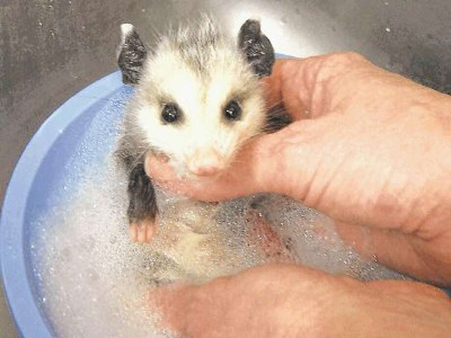A baby opossum gets a bath at the TWRC Wildlife Center. The center is hosting a baby shower for new baby animals Saturday in The Woodlands.