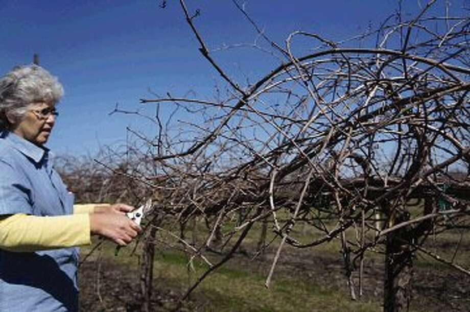 Linda Mietzen of Windy Winery in Brenham has begun pruning her vines for this year's grapes. She prunes vines to limit grape production and enhance grape quality.