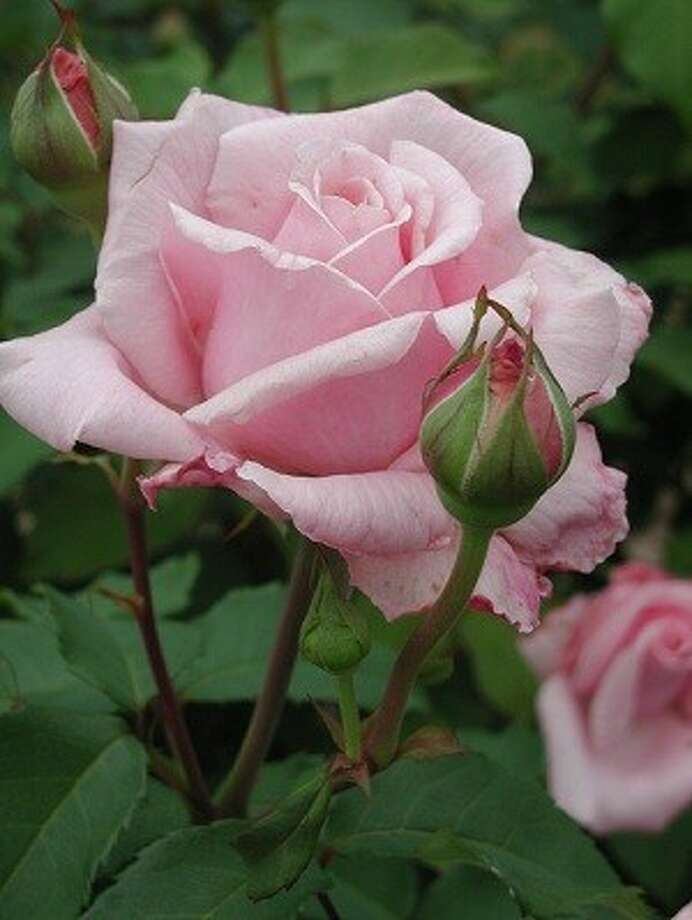 There will be plenty of plants, vegetables, citrus and flower, such as Belinda's Dream Rose (pictured) available at the Montgomery County Master Gardener's 2013 spring plant sale from 9 a.m. to 1 p.m. March 9 at the Texas A&M AgriLife Extension, located at 9020 Airport Road in Conroe.