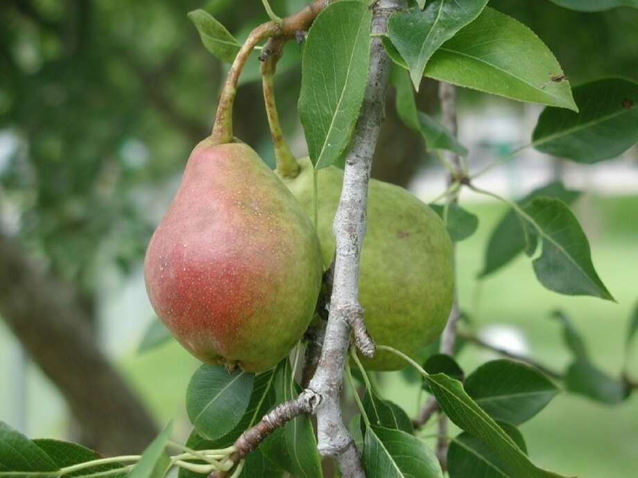 Many fruits, such as the Southern King pear, can be a beautiful addition to a landscape with only minimal attention.