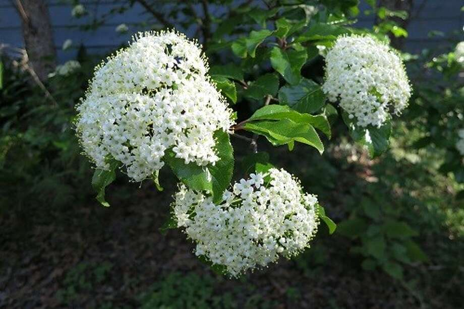 Viburnum rufidulum - rusty blackhaw viburnum, a native Texas shrub/small tree is a show-stopper in spring when covered with white blooms.
