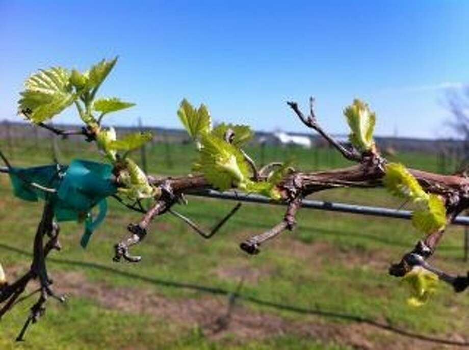 Bud break occuring in grape vines at Retreat Hill Vineyards.