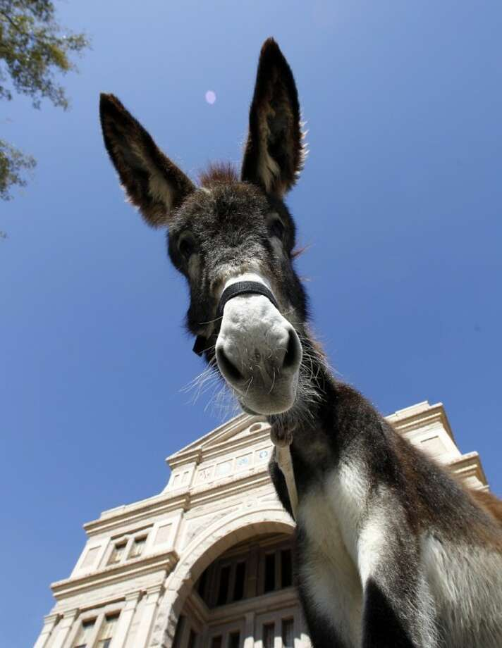 In this Jan 18, 2012 file photo, a donkey used by protestors to deliver a petition with 100,000 signatures asking Gov. Rick Perry to stop Texas Parks and Wildlife from hunting wild burros in Big Bend Ranch State Park is seen at the capitol in Austin. Photo: Eric Gay