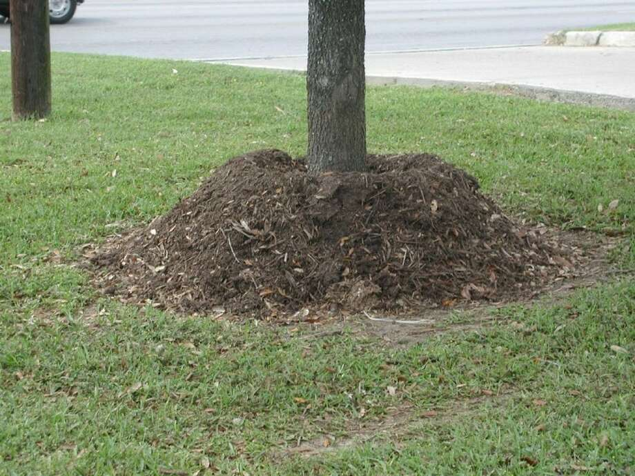 Volcano mulching is not a good idea and can stress trees.