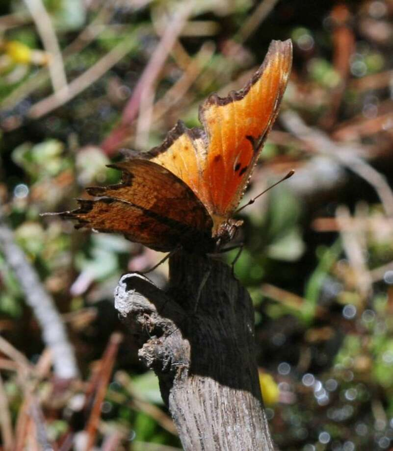 This undated photo provided by the Chihuahuan Desert Research Institute shows a spotless comma with it's wings opened, in Davis Mountains State Park, Texas. The butterfly, found only in Mexico, has been spotted in the U.S. for the first time. West Texas climate researcher Cathryn Hoyt said Thursday, June 20, 2013, that she found a single spotless comma while studying pollinators of rare plants in the Davis Mountains in late May. Photo: C. Hoyt