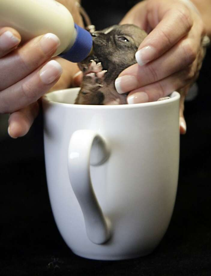 Beyonce, a Dachshund puppy vying for the title of World's Smallest Dog, is fed in a coffee cup, during an interview on Wednesday in New York. Animal rescuers in Northern California say Beyonce was so small at birth that she could fit into a spoon. Photo: Bebeto Matthews