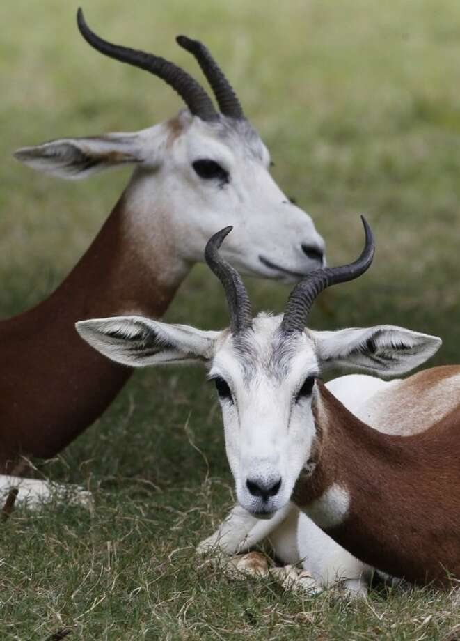 In this Oct. 11, 2011 file photo, two dama gazelles lie in the grass in their habitat at the Montgomery Zoo in Montgomery, Ala. Starting today, the U.S. government will stop allowing anyone to hunt the dama gazelle or two other exotic antelopes native to Africa, the addax and the scimitar-horned oryx, giving the animals full protection under the federal Endangered Species Act. Photo: Dave Martin
