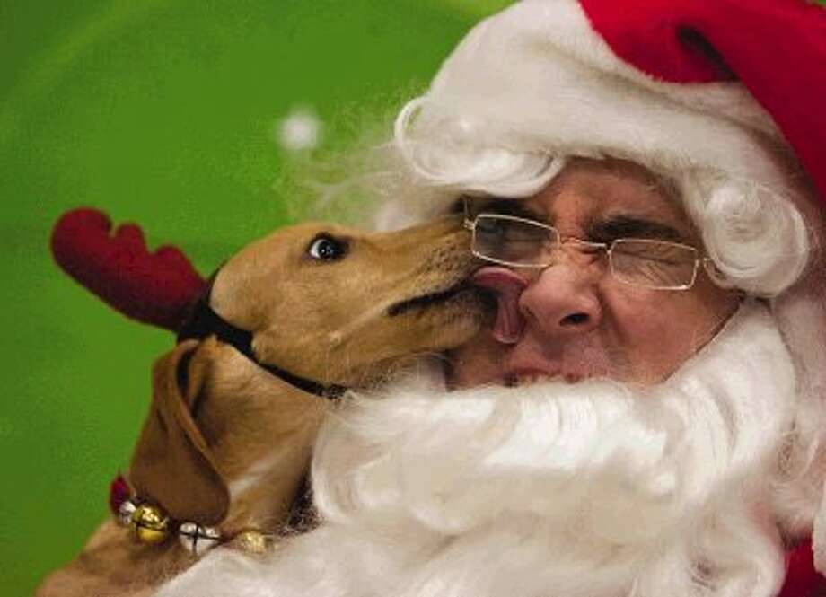 """Courier photographer Eric Swist earned first place in the Feature Photography Class AA Texas APME contest for this photo: """"A Lick for Old St. Nick."""" Rupert, a 7-month-old Dachshund, licks the face of volunteer Patrick Ashton, dressed as Santa Claus during a fundraising event for the Montgomery County Animal Shelter at a Petsmart location Sunday, Dec. 18, 2011, in Shenandoah. Pet owners brought their animals for a chance to pose for a photograph with Santa Claus, with half the proceeds of photo sales going to support the county animal shelter. Photo: MBR / AP2011"""