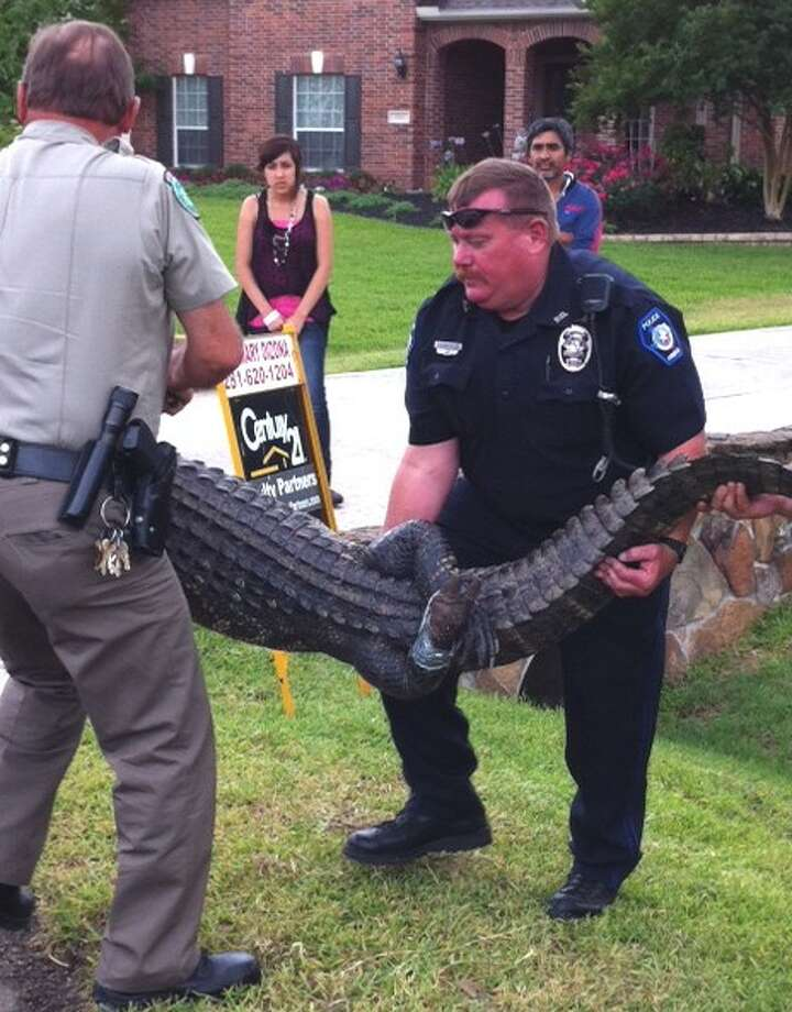Conroe Police Officer Joe Older, right, and a Texas Parks and Wildlife game warden carry a 7 foot, 7 inch alligator from the yard of a home in Conroe's Silver Stone subdivision as neighbors watch. Photo: Courtesy Photo