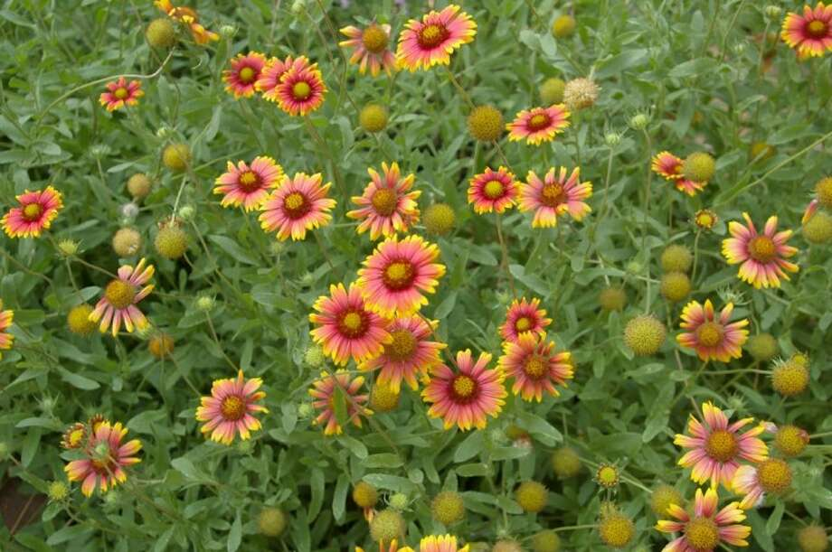 Indian blanket flowers (Gaillardia pulchella) can take the heat and bloom all summer.
