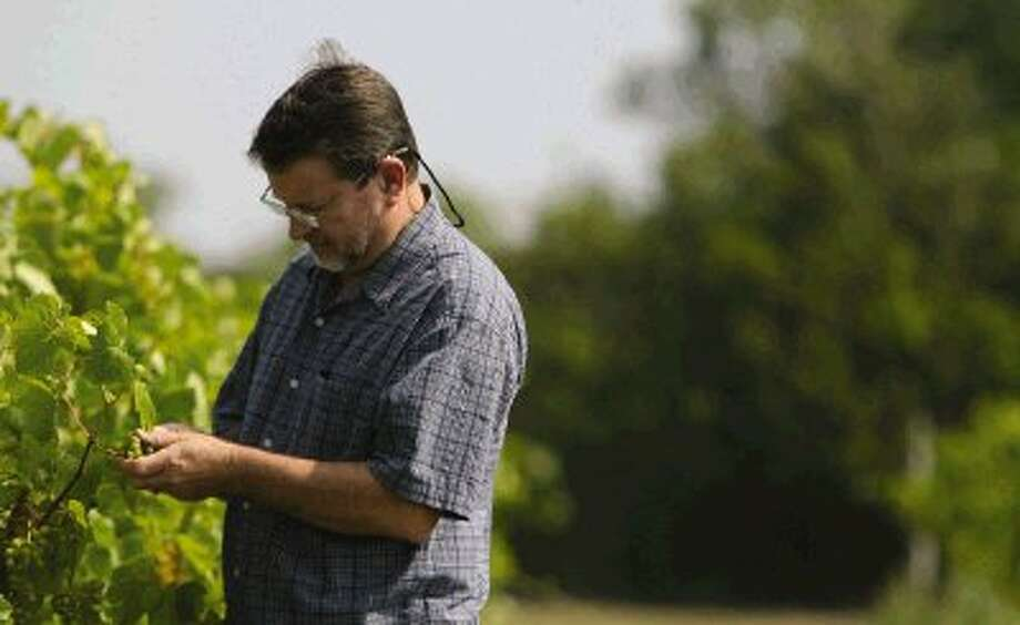 Jerry Bernhardt, owner of Bernhardt Winery in Plantersville, inspects some of the grapes growing in his field. Vineyards normally fare well in dry weather conditions.