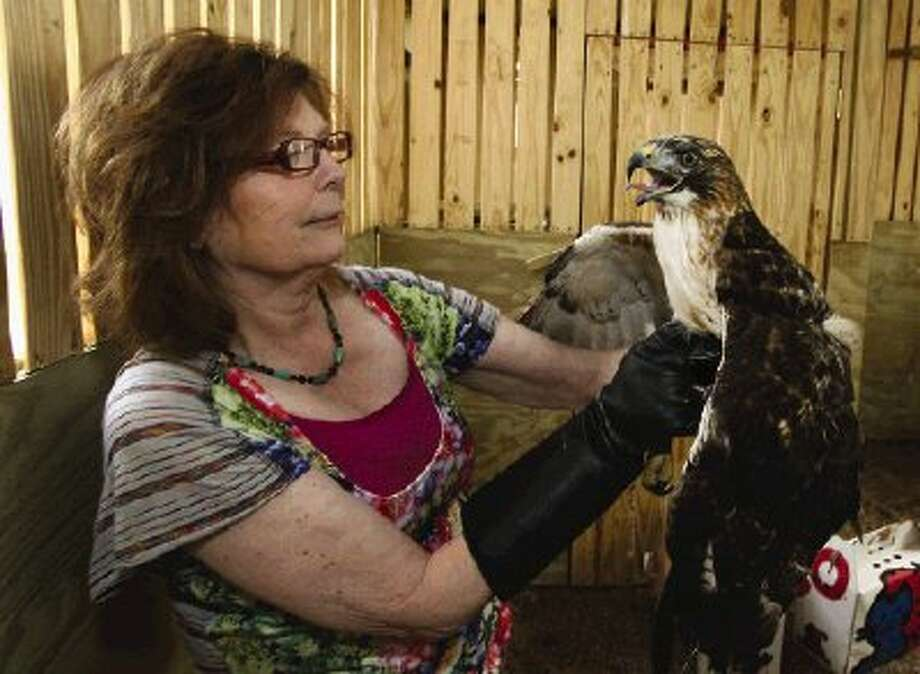 Janette Winkelmann, president of Friends of Texas Wildlife, examines a red-tailed hawk before releasing him into the new raptor rehabilitation flight facility.