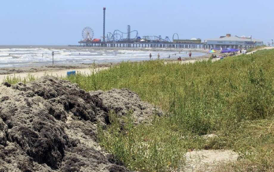 """In this June 26 photo, seaweed scraped from the beach near 17th Street in Galveston is piled into dunes where vegetation is already growing over decomposing seaweed. The Park Board of Trustees voted unanimously to support projects that will create """"seaweed-enhanced sand dunes"""" on the island. Photo: Jennifer Reynolds"""