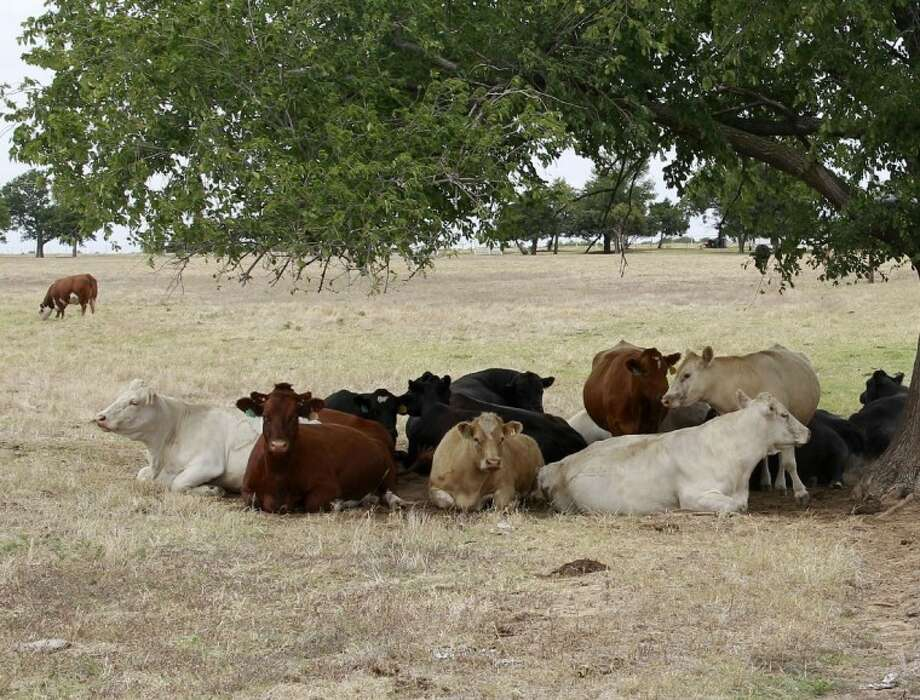 Cattle seek refuge from the heat under a tree near Wayne, Okla., Thursday. The drought that is worsening across the U.S. is also intensifying in Oklahoma, the U.S. Drought Monitor reported, leaving cattle ranchers looking for ways to feed their herds. Photo: Sue Ogrocki