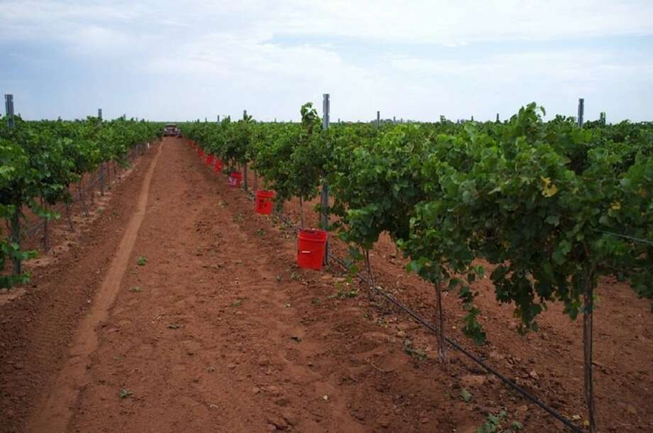 Pheasant Ridge Winery harvested its Pinot Noir grapes on Aug. 7 at its High Plains Vineyard near Lubbock.