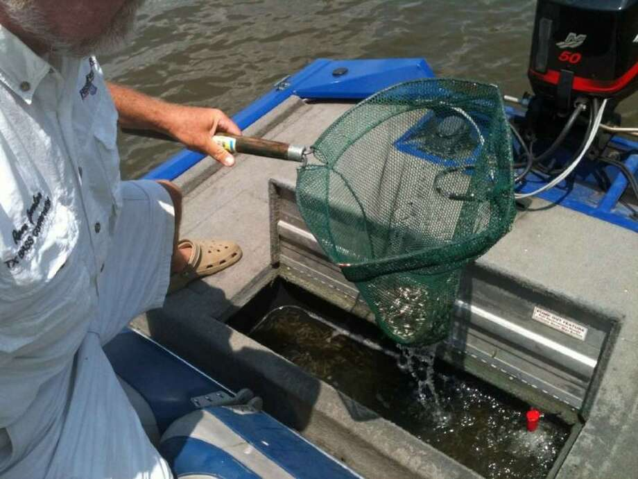 Members of the Seven Coves Bass Club assisted the Texas Parks and Wildlife Department with the stocking of Florida strain black bass fingerlings in Lake Conroe.
