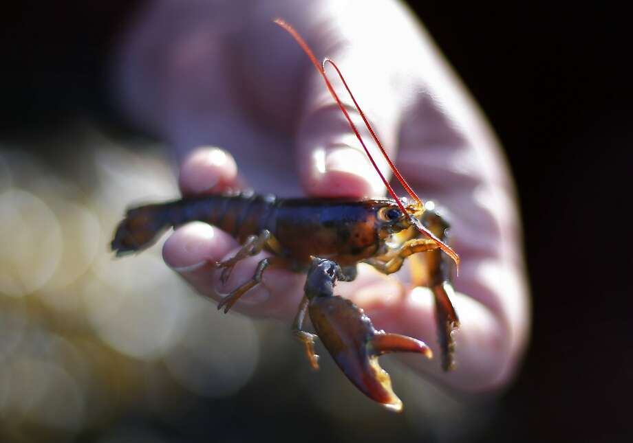 A marine biologist holds a young lobster on Friendship Long Island, Maine. Scientists have found that a water temperature increase of 5 degrees would pose a threat to baby lobsters. Photo: Robert F. Bukaty, Associated Press