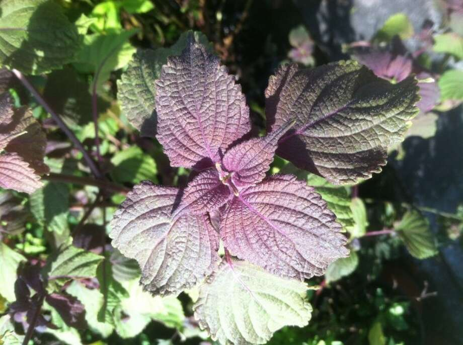 Shiso, also known as Beefsteak Plant or Red Perilla, can be used as an ornamental and an edible. Photo: JIM MOLONY