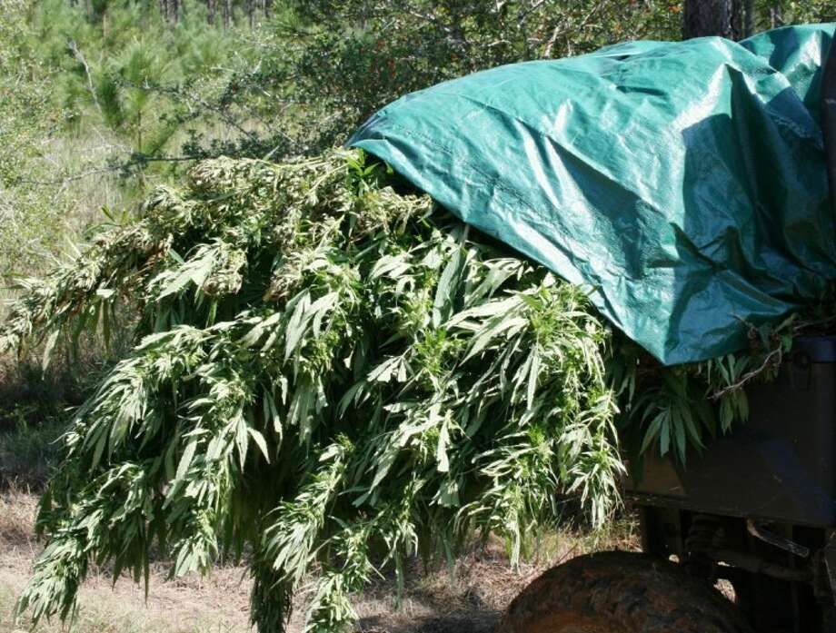Approximately 1,460 marijuana plants were pulled from a field off of FM 222 in Shepherd Wednesday by officers with the San Jacinto County Sheriff's Office and the Texas Department of Public Safety's Criminal Investigation Division in Conroe. Photo: VANESA BRASHIER