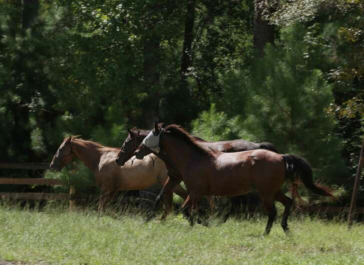The horses of Henry's Home gallop Saturday in their new permanent home in Grand Central Park, just north of The Woodlands.