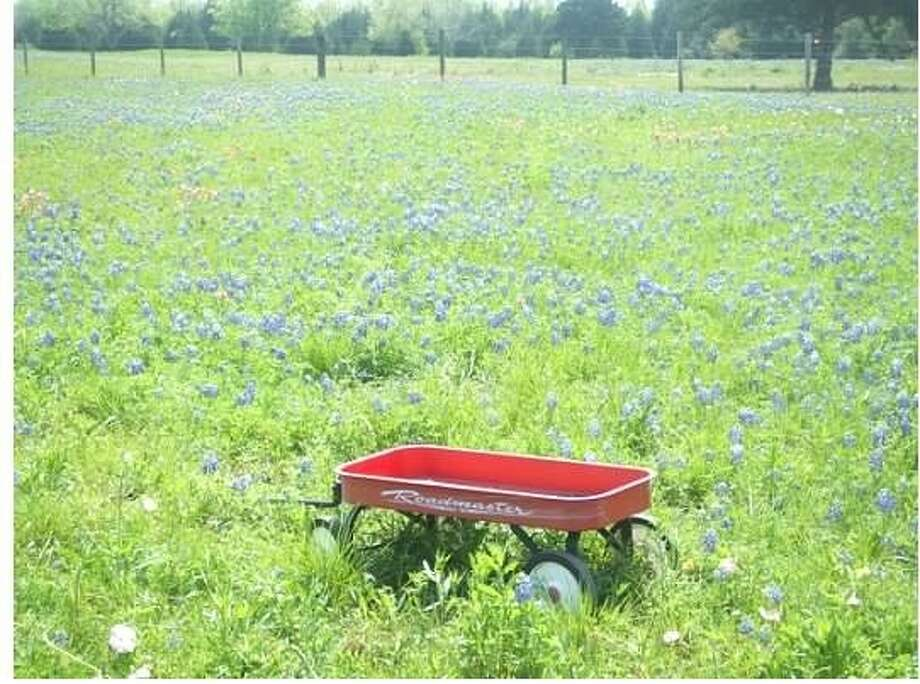 April is the best month for viewing wildflowers in Texas. Call the wildflower hotline at 800-452-9292, choose option four and plan a road trip to view these spring beauties. To obtain a bluebonnet fix right away, check out this link: http://www.wildflower.org/bbcam.