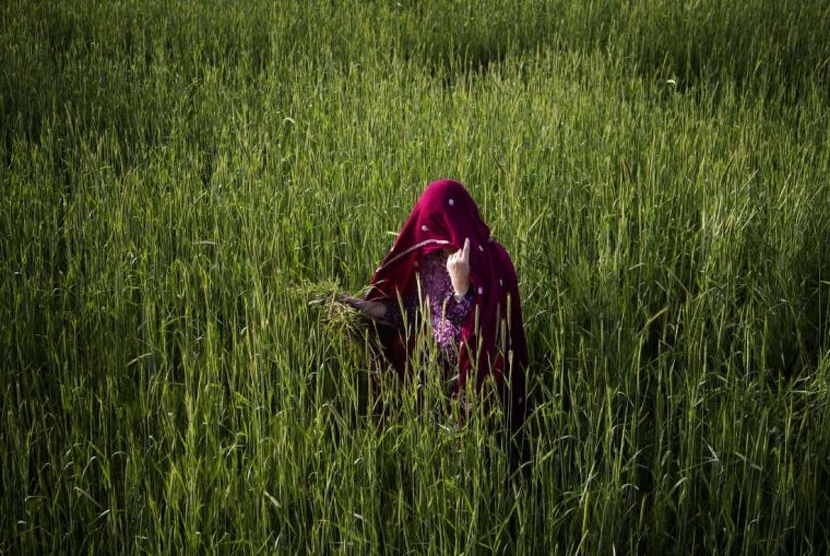 An Afghan woman harvests wheat Wednesday on the outskirts of Kabul, Afghanistan.