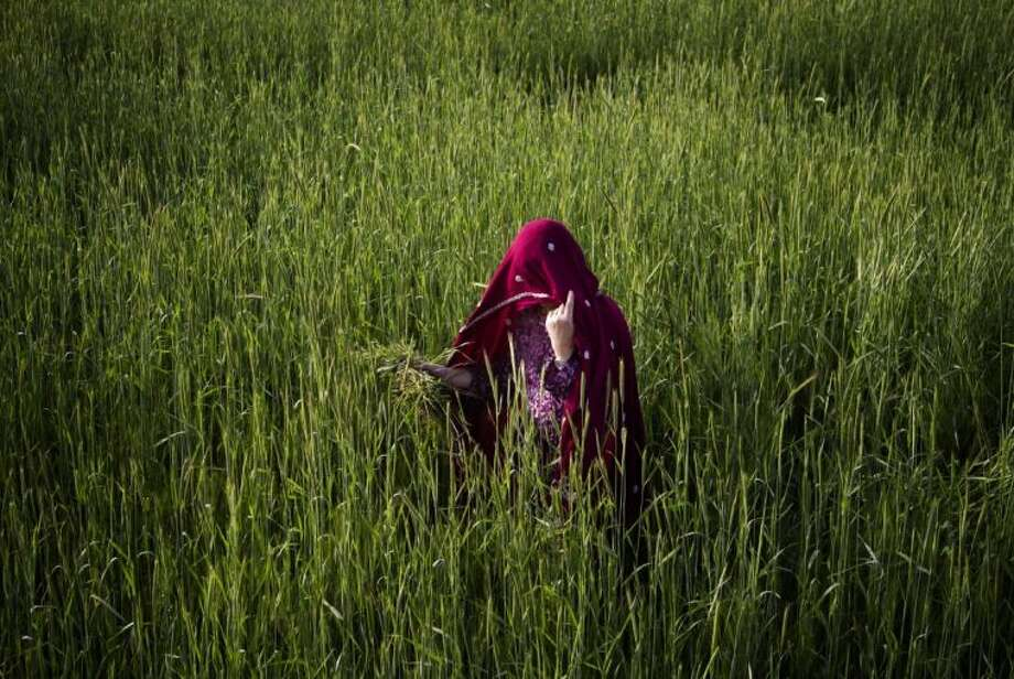 An Afghan woman harvests wheat Wednesday on the outskirts of Kabul, Afghanistan. Photo: Ahmad Jamshid