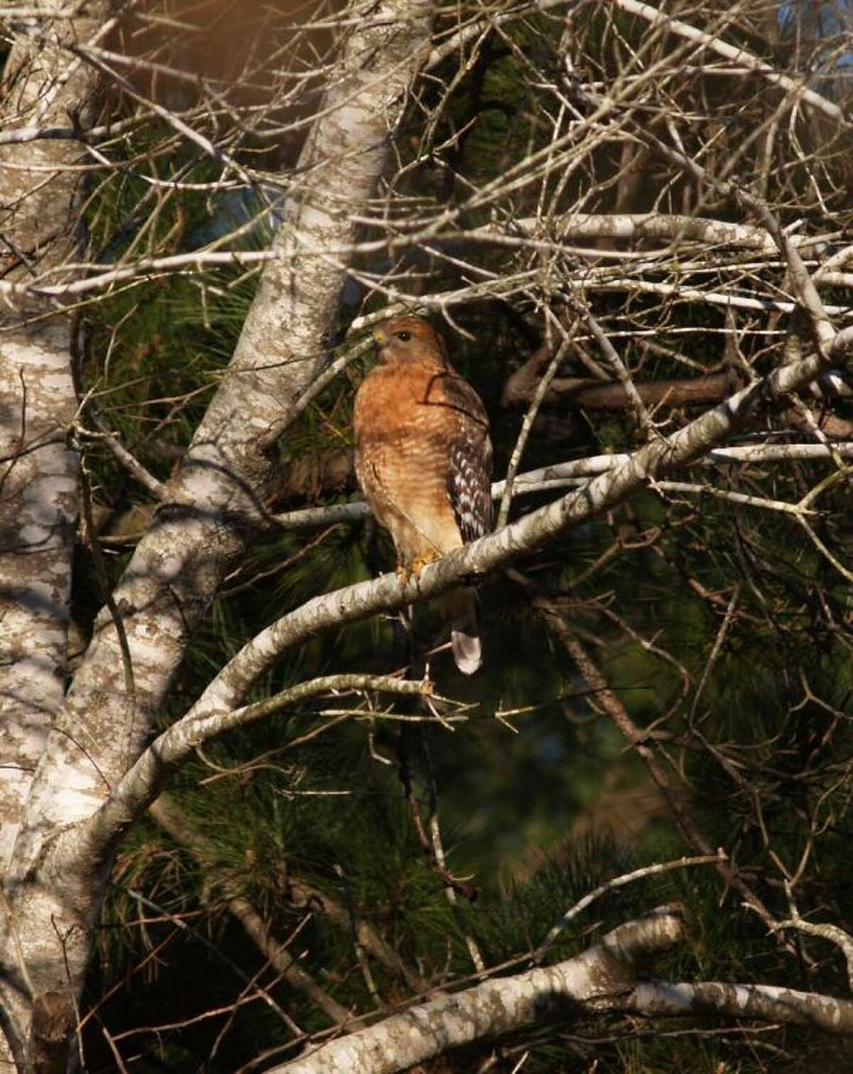 This beautiful red hawk was sitting undisturbed in a tree as my grandchildren and I were on a hiking trip in the Sam Houston National Forest.