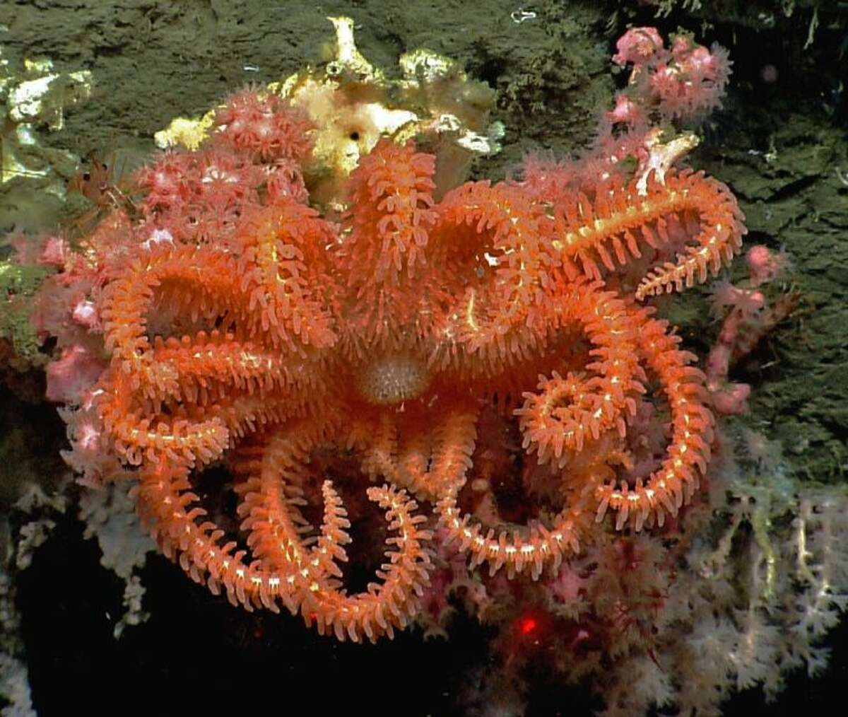 This image provided by NOAA, shows a brisingid seastar rests on a small bubblegum coral in Hydrographer canyon. National Oceanic and Atmospheric Administration's ship Okeanos Explorer and its robotic sub are providing live coverage of a expedition running until Aug. 16, 2013, off Nantucket, that is allowing other scientists and everyday people to follow along. Until now, the world of the deep sea floor has mostly been the province of scientists where a handful of researchers would huddle on a ship and watch the video from below, take notes, and two or three years later write a scientific paper.