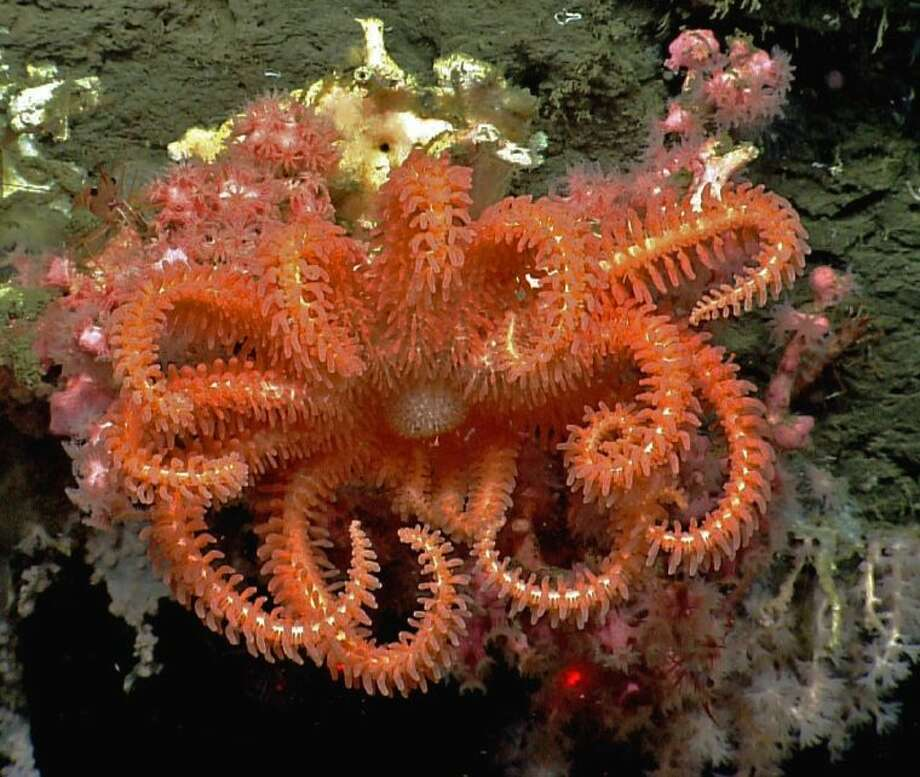 This image provided by NOAA, shows a brisingid seastar rests on a small bubblegum coral in Hydrographer canyon. National Oceanic and Atmospheric Administration's ship Okeanos Explorer and its robotic sub are providing live coverage of a expedition running until Aug. 16, 2013, off Nantucket, that is allowing other scientists and everyday people to follow along. Until now, the world of the deep sea floor has mostly been the province of scientists where a handful of researchers would huddle on a ship and watch the video from below, take notes, and two or three years later write a scientific paper. Photo: Uncredited