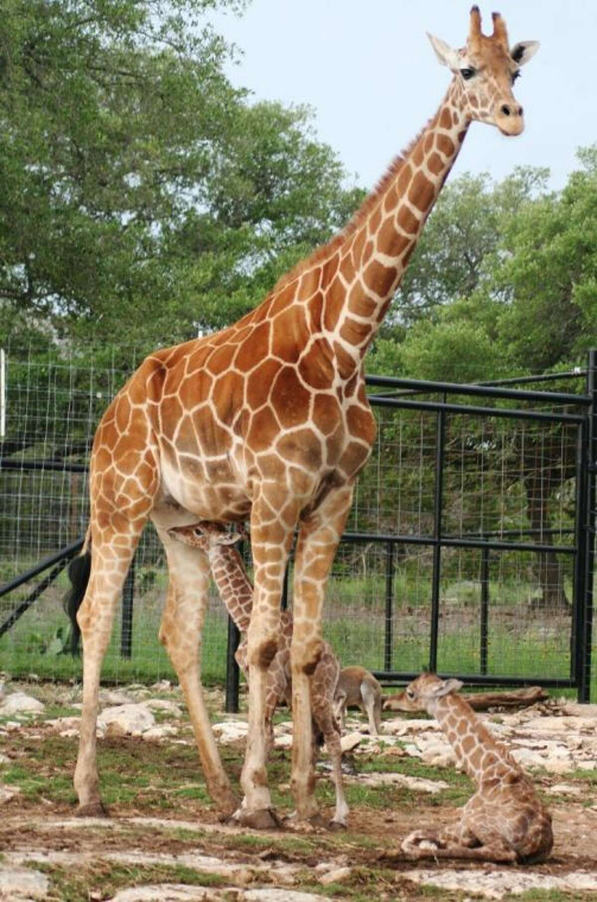 In this photo provided by the Natural Bridge Wildlife Ranch, Wasswa, a female twin giraffe, nurses shortly after birth in New Braunfels, Texas. Officials with the Natural Bridge Wildlife Ranch say twin giraffes have been born, marking just the second time such a birth has occurred in the U.S.