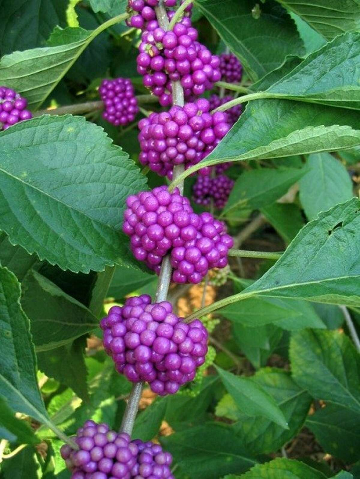 American beautyberry, Callicarpa americana, is an understory native shrub. The flowers are insignificant; the real drama occurs in fall with the display of beautiful berries. The birds love the berries and they make a delicious jelly.