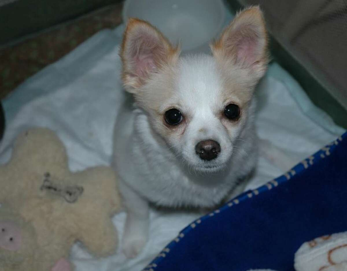 The Montgomery County Animal Shelter is thanking local community members for helping this Chihuahua-mix puppy, Kayla, receive surgery to repair two broken back legs. Kayla was brought to the shelter unable to walk, and X-rays revealed that both of her back legs were broken, possibly due to a fall from a considerable height. After posting Kayla's story online, MCAS helped raise about $3,500 to help cover her extensive surgery. Dr. Rick Wall, of Animal Clinics of The Woodlands, performed the surgery.