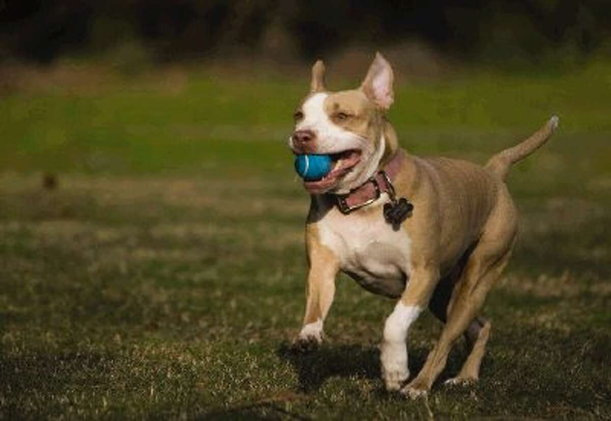 Lady, a Pit Bull rescue belonging to Aaron Ogden, president of Guardian Pit Bull Rescue in The Woodlands, runs with a ball at the park.