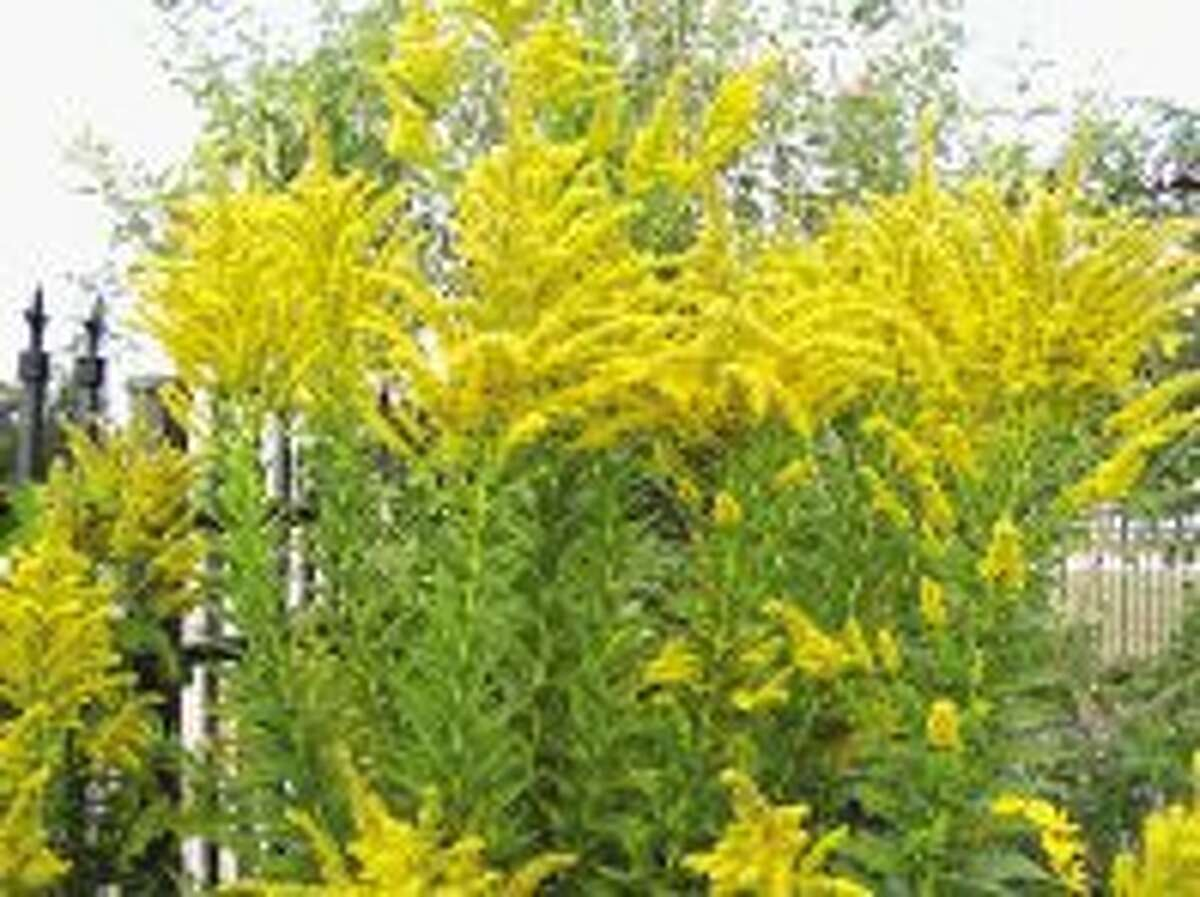 Goldenrod attracts butterflies and many other beneficial insects. Contrary to popular belief, goldenrod does not cause fall allergies. Its pollen is too heavy to be carried by the wind. It's the ragweed that has you sneezing.