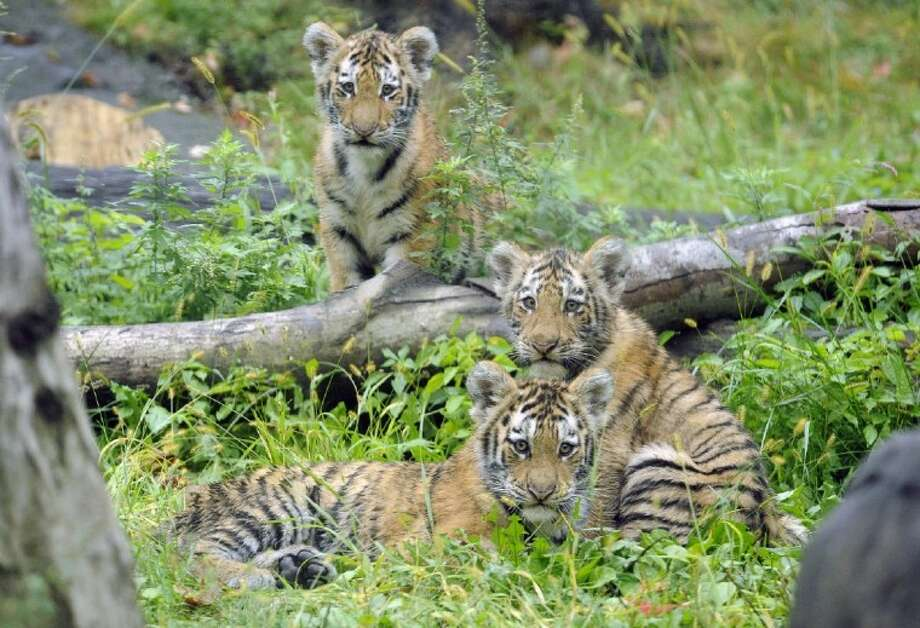 In this Sept. 20, 2010 photo provided by the Wildlife Conservation Society, three Amur tiger cubs rest by a fallen tree limb at the Tiger Mountain exhibit at the Bronx Zoo in New York. Photo: Julie Larsen Maher