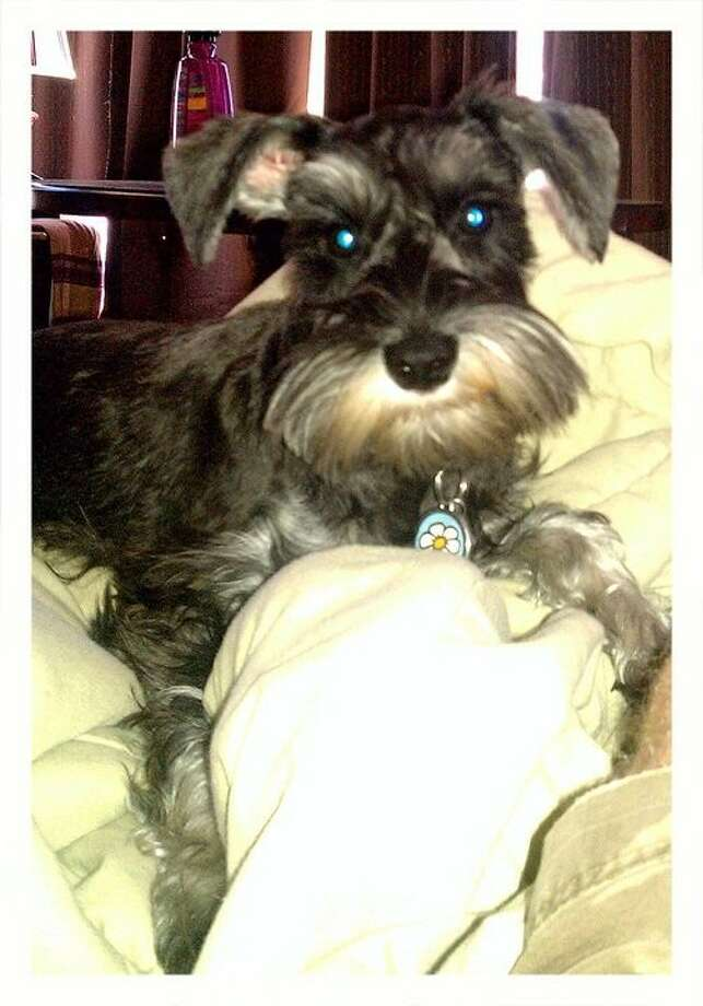 Anabelle, a pure-bred Schnauzer, is a service dog for Samantha Roets.