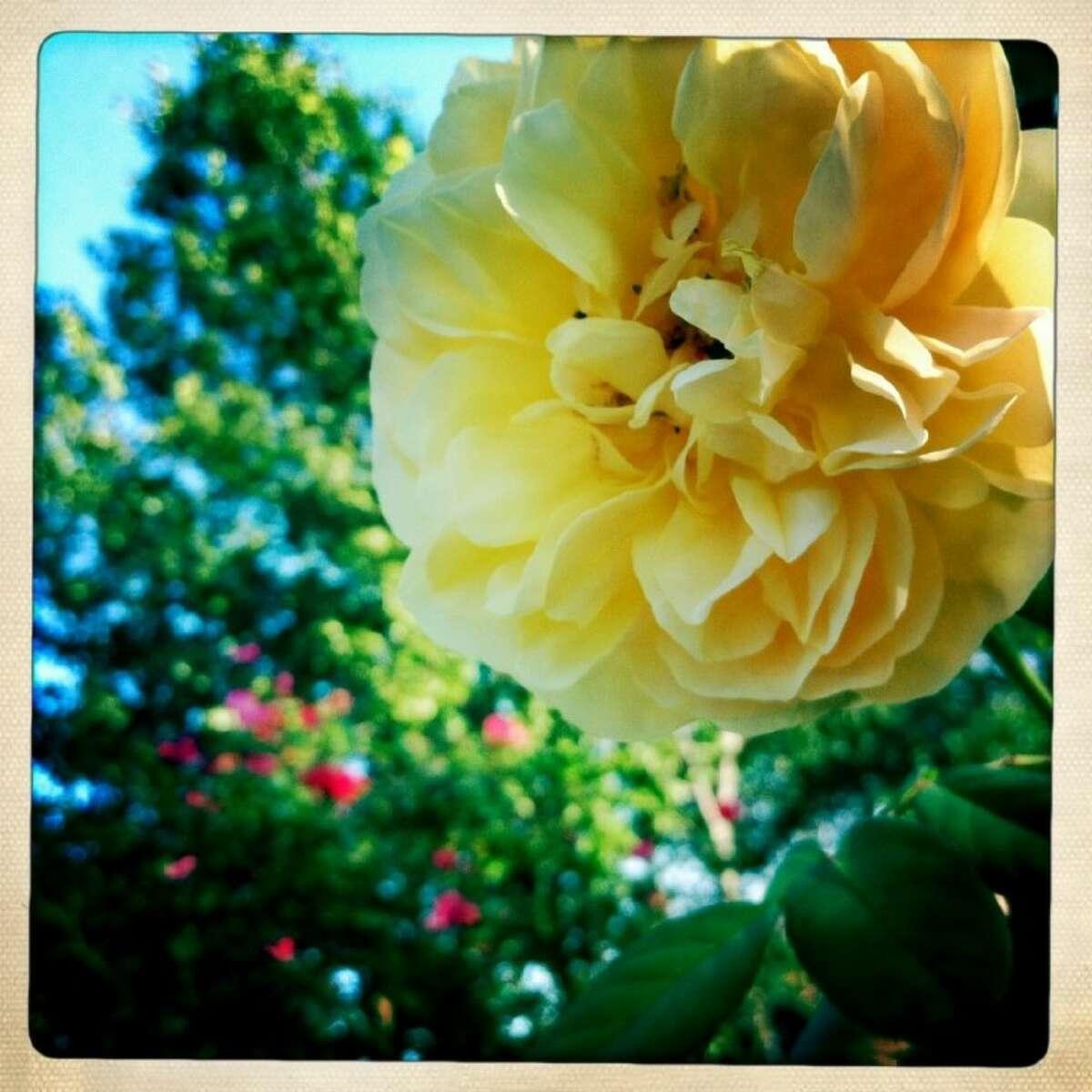 A Graham Thomas rose bloom.