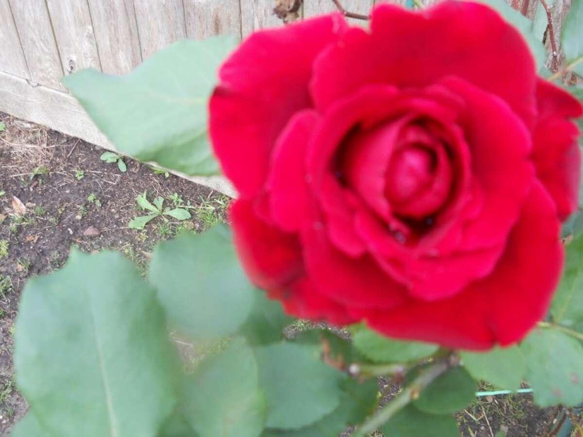 A climbing Don Juan hybrid tea rose bloom.