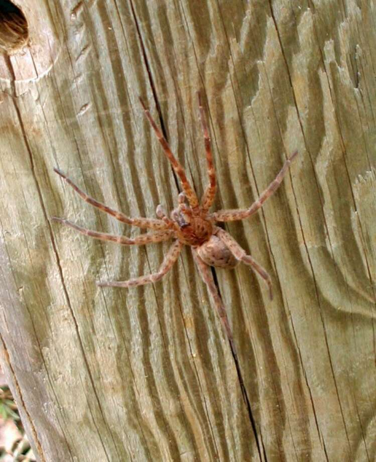 This spider is not a brown recluse or black widow, but it still gives me the willies.