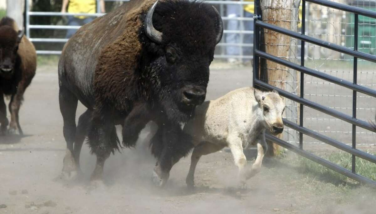 This file photo made June 29, 2011, shows a rare white buffalo running into a corral before a Native American naming ceremony in Greenville.