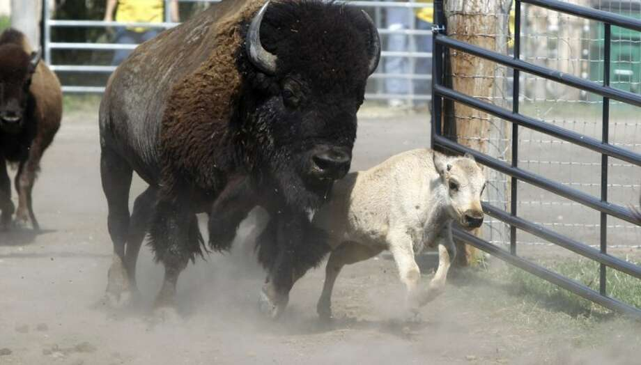 This file photo made June 29, 2011, shows a rare white buffalo running into a corral before a Native American naming ceremony in Greenville. Photo: LM Otero