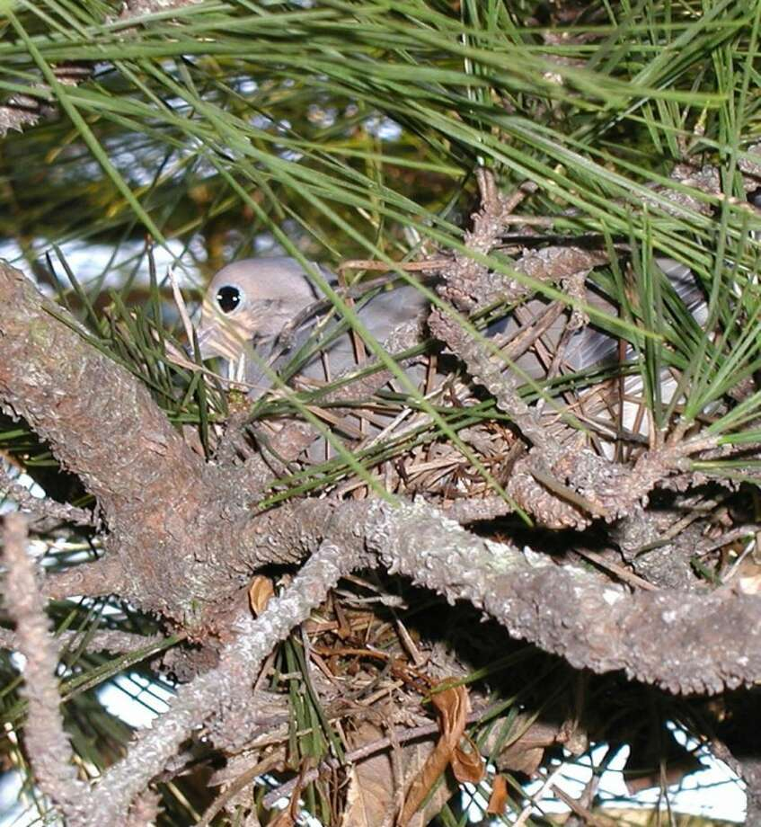 Camouflage concealed this dove in its nest.