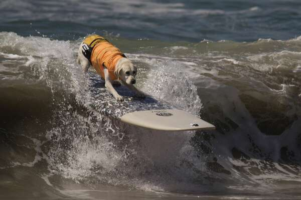 HUNTINGTON BEACH, CA - SEPTEMBER 25:  A surfing dog rides a wave during the Surf Dog Competition at the 8th annual Petco Surf City Surf Dog event on September 25, 2016 in Huntington Beach, California. Dogs owners are expected to attend the dog surfing competition from as far as Florida, Australia and Brazil.  (Photo by David McNew/Getty Images)