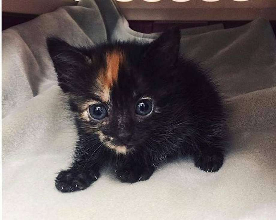 This female kitten, now named Komodo, was rescued Sunday, July 31, 2016, from he Komodo dragon exhibit at the Fort Worth Zoo. She is in foster care at the Humane Society of North Texas until she's big enough for adoption. (Humane Society of North Texas via Facebook) Photo: Photo: Humane Society Of North Texas