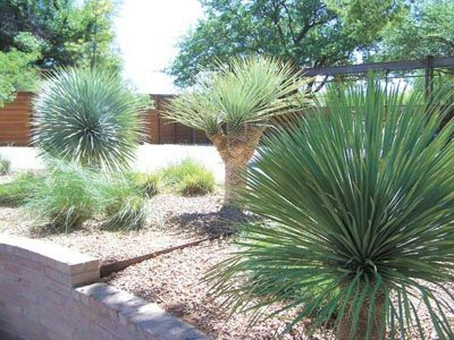 Bring the beauty and elegance of the desert to your landscaping with yucca Rostrata (left and right), yucca Rigidia (multi-headed, center) and other desert plants from Richards Horticulture. They are open to the public by appointment only, by calling 686-0643.