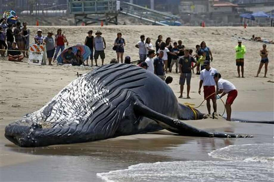Lifeguards tie a dead humpback whale's tail after it washed ashore at Dockweiler Beach along the Los Angeles coastline on Friday, July 1, 2016. The whale floated in Thursday evening. It is approximately 40 feet long and is believed to have been between 10 to 30 years old. Marine animal authorities will try to determine why the animal died. (AP Photo/Nick Ut)