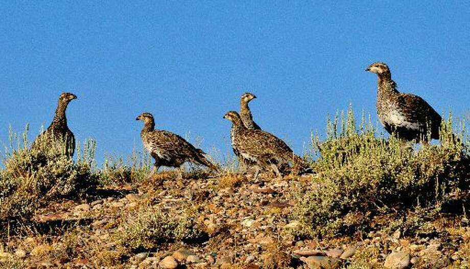 This July, 28, 2014 photo provided by the U.S. Fish and Wildlife Service shows a Greater Sage Grouse Hen with Brood at the Seedskadee National Wildlife Refuge in Wyoming. A government study recommends keeping oil and gas drilling, wind farms and solar projects more than 3 miles away from the breeding grounds of a bird that ranges across much of the Western U.S. a finding that could carry significant impacts for the energy industry as the Obama administration weighs whether the greater sage grouse needs more protections after seeing its population plummet in recent decades. (AP Photo/U.S. Fish and Wildlife Service,Tom Koerner)