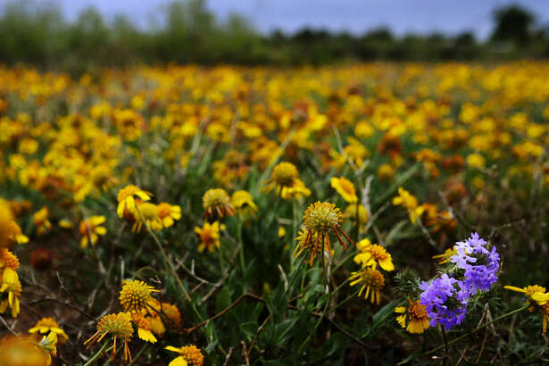 A pair of Prairie Verbenas grow in a field of Huisache Daisies near the Sibley Nature Center on Tuesday, April 12, 2016. James Durbin/Reporter-Telegram